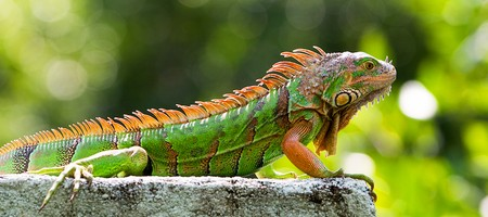 All About Iguanas in Surfside
