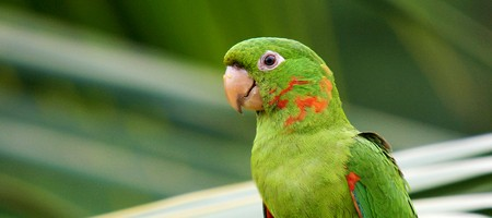 Surfside Parakeet